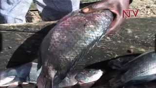 Mukono District Council imposes 2 months fishing ban