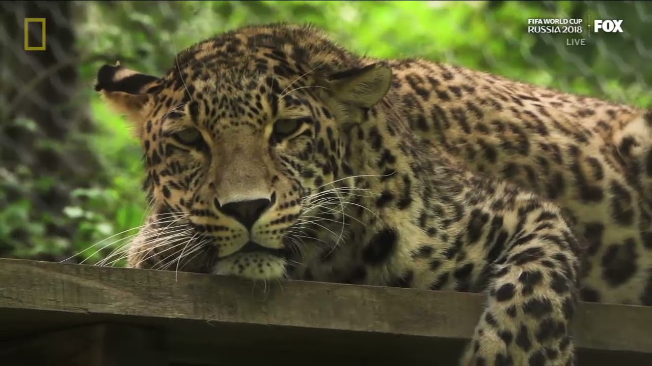 SAVING LEOPARDS - for National Geographic
