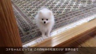Vol.7  世界が広がった!コナちゃん  ポメラニアン thumbnail