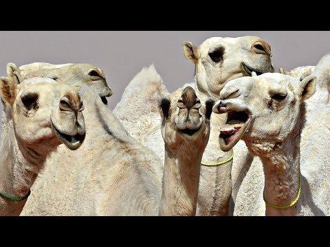 Ботокс запрещён: 12 саудовских верблюдов не пустили на конкурс красоты