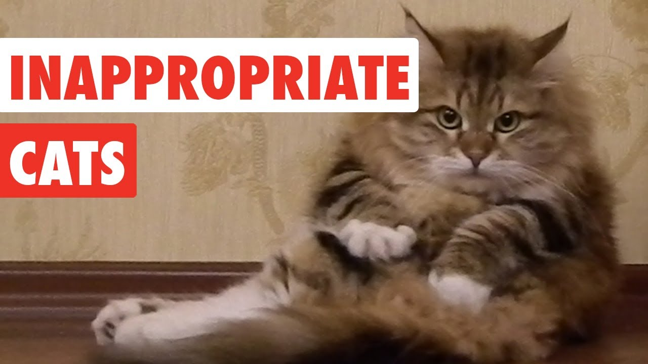 Funny Memes Clean 2017 : Inappropriate cats funny cat video compilation youtube