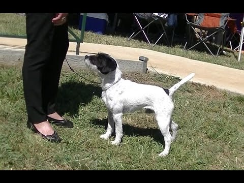 Parson Russell Terrier Dog Show in Canberra 2016 B