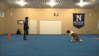 Maisie (st. Bernard) Boot Camp Dog Training Video