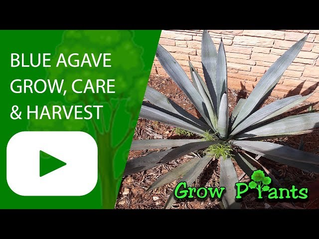 Agave Anomala How To Grow Care