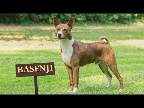 Basenji - Must Know Facts For The Owner