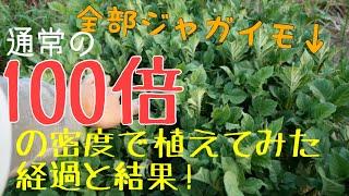 【栽培実験】100倍の密度で植えたジャガイモの経過と結果!2019年7月16日