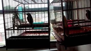 Guyana birds Len towa towa