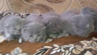 Шотландские котята плачут за мамой
