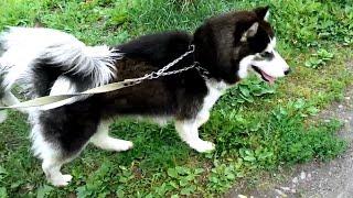 Правильный выгул собаки, смотреть всем собаководам