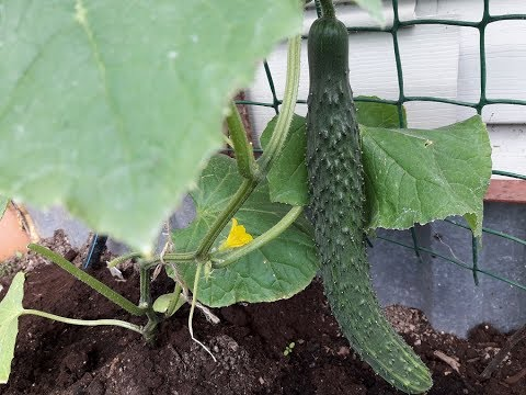 Огурцы в холодном июне, чем подкармливаю/Самый устойчивый к холоду сорт/Сделали полив