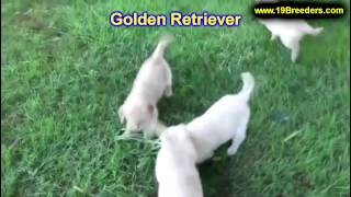 Golden Retriever, Puppies, For, Sale, In, West Jordan, Utah, County, Ut, Utah, Davis, Cache, Box Eld