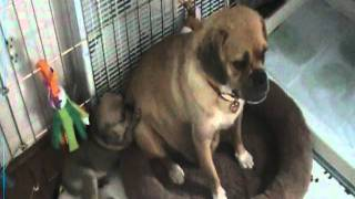 5 Week Old Puggle Puppies Play with Food and Use Potty Pad