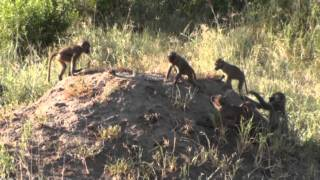 Travel with the Palm Beach Zoo: Baboons in Tanzania 2010