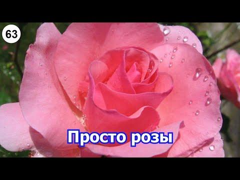 Просто розы. (LoveAndMeow, цветы, розы)