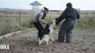 Восточноевропейская овчарка Бумер - первое занятие по защите