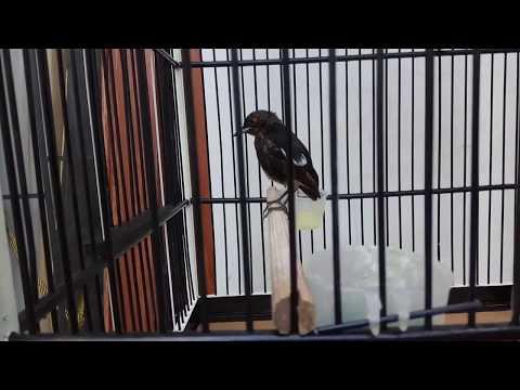 Download Burung Decu Trotol Belajar Bunyi Mp3 5 5 Mb Kicau Siburung Com
