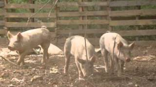 New blue butt piglets on The Pig Farm running from bigger pig. part 2