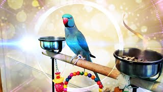 Talking Ringneck: RIO The Best Talking Bird