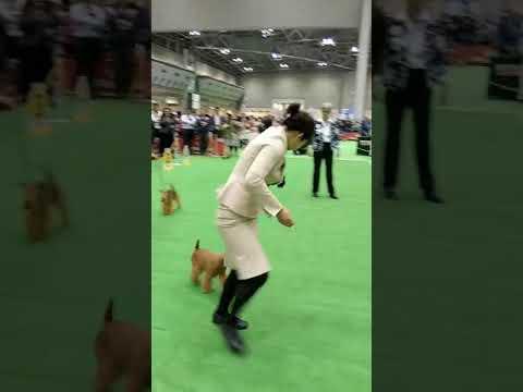 FCI Japan International Dog Show 2019 WINNER(Lakeland Terrier/Bitch)