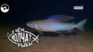 Сибирский хариус | О чем молчат рыбы