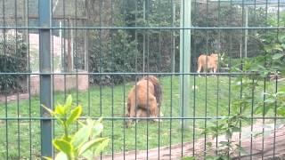 Sexually Awkward Lion At Monde Sauvage