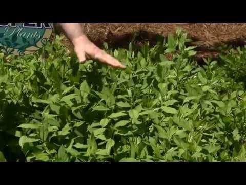 Super Plant Henrys Garnet Virginia Willow Is Louisiana Native