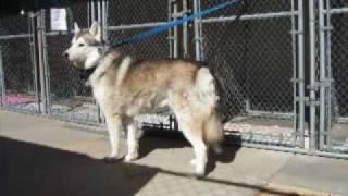 Siberian Huskies In Need Of Help