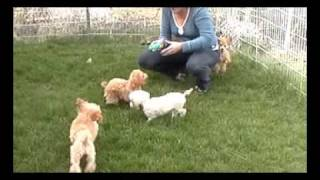 Red Toy Poodle Puppies Playing - For Sale
