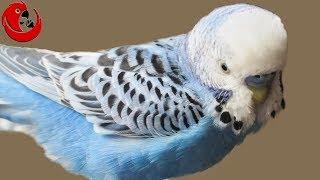 Gadajaca papużka falista Kajtek - czy jest wulgarny? Chyba nie!