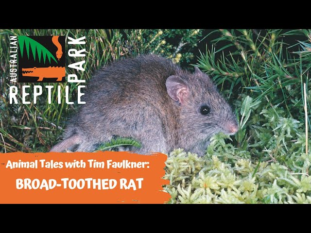 ANIMAL TALES WITH TIM FAULKNER | EPISODE 35 | BROAD-TOOTHED RAT