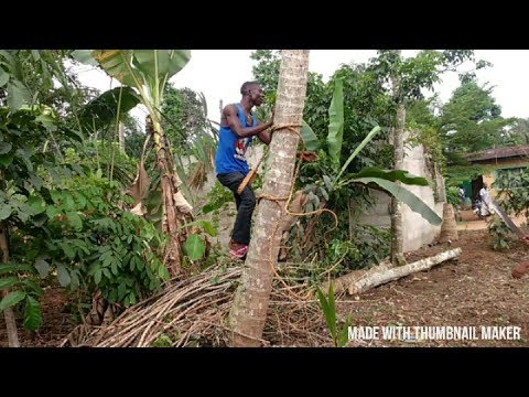 How To Climb A Coconut Tree In An Easy Way