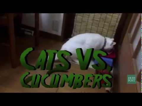 Incredibile Gatto Vs Cetriolo Youtube