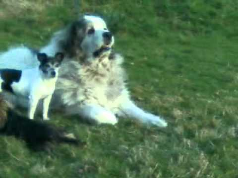 Pyrenean Mountain Dog - Great Pyrenees - Gentle Giant