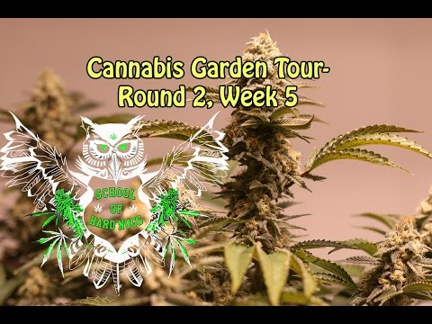 Cannabis Garden Tour- Round 2, Week 5 | High Humidity | Controlling Humidity