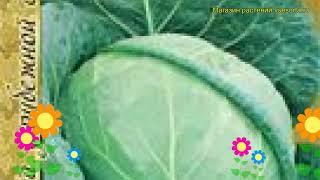 Капуста белокочанная Атрия f1. Краткий обзор, описание характеристик, где купить семена Atriya f1