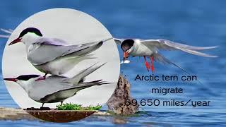 Video Migration - The seasonal journey - Arctic tern download MP3, 3GP, MP4, WEBM, AVI, FLV Agustus 2018