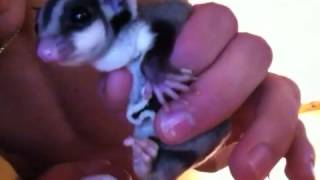 How to potty train your sugar glider