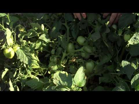 California Tomato Fields