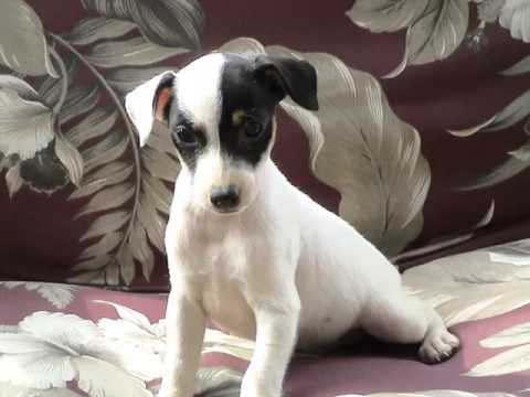 Dog Rat Terrier Puppy Dog Pictures Of Terrier Dogs And Puppy Youtube