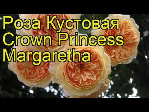 Роза кустовая Crown Princess Margaretha. Краткий обзор, описание характеристик, где купить саженцы