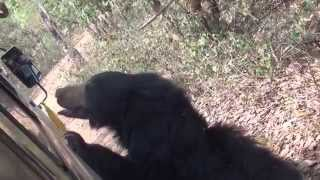 Bear Safari in the  Nandankanan zoo but they are sick and hungry , WHY??