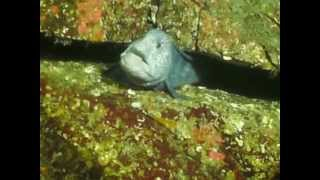 Feeding sea urchin to Wolf EEL