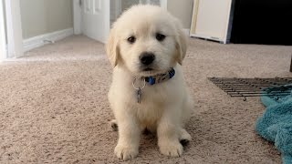i got a puppy cooper the 8 week old golden retriever