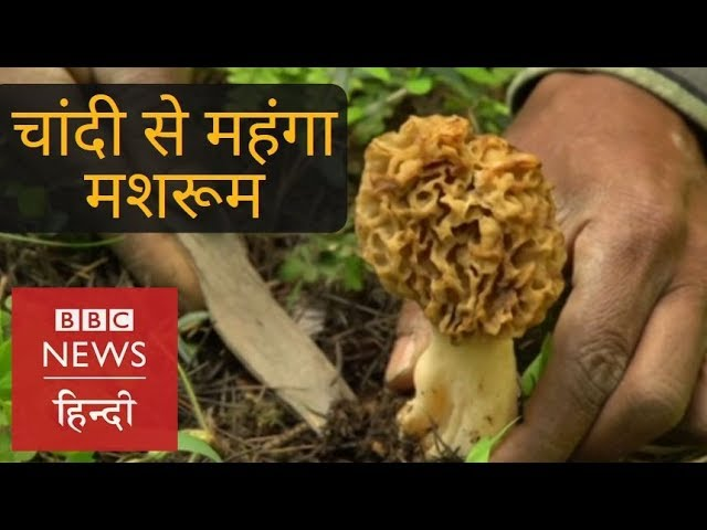 Kashmirs Special Mushroom which is Expensive than Silver (BBC Hindi)