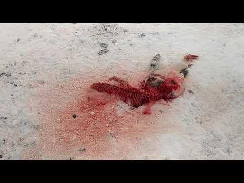 Волки съели собаку в центре населенного пункта. 18+ слабонервным не смотреть.