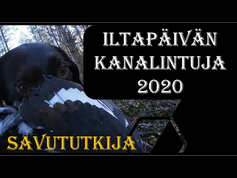 Iltapäivän Kanalintujahti Saksanseisojalla 2020 - Black Grouse Hunting With German Pointer