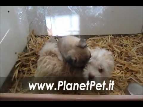 Bichon frise – Carlino www.PlanetPet.it