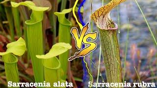 Carniplant-Plantas carnívoras-Vivero + Sarracenia alata VS Sarracenia rubra