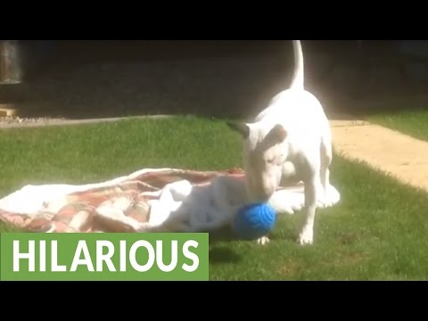English Bull Terrier ecstatic about new toy