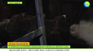 В Челябинске изобрели корм для животных из хвои и саранчи